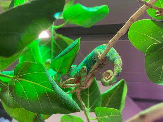 The Resident Chameleon at Green Planet