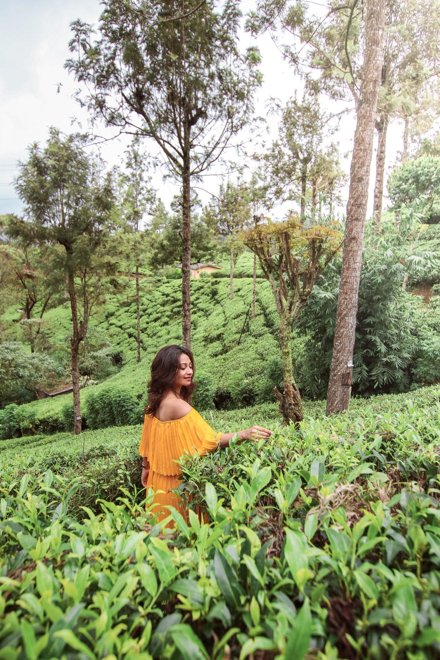 Plucking tea at Nuwara Eliya in Sri Lanka