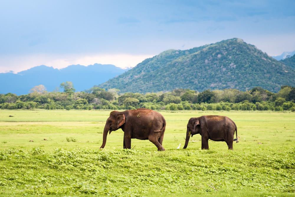 Roaming elephants at Yala National Park Sri Lanka